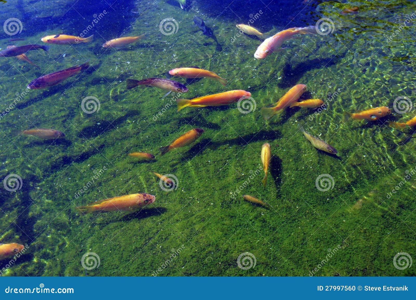 Koi carp swimming in shallow pool stock photo image for Koi carp pool design