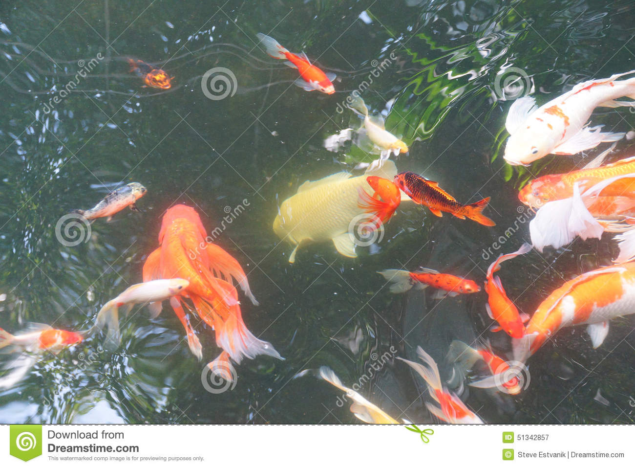 Koi carp swimming stock photo image 51342857 for Mini carpe koi