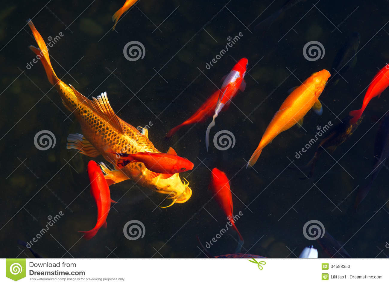 Koi Carps Fish Japanese swimming  Cyprinus carpio  beautiful color    Japanese Koi Fish Swimming