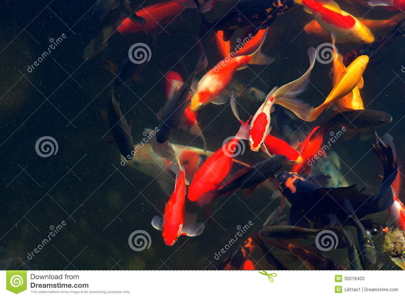 Koi carps fish japanese swimming cyprinus carpio stock for Koi fish cost