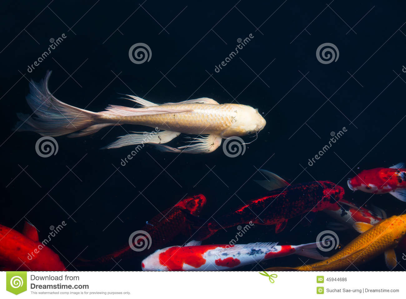 Koi carps fish japanese swimming cyprinus carpio for Koi swimming