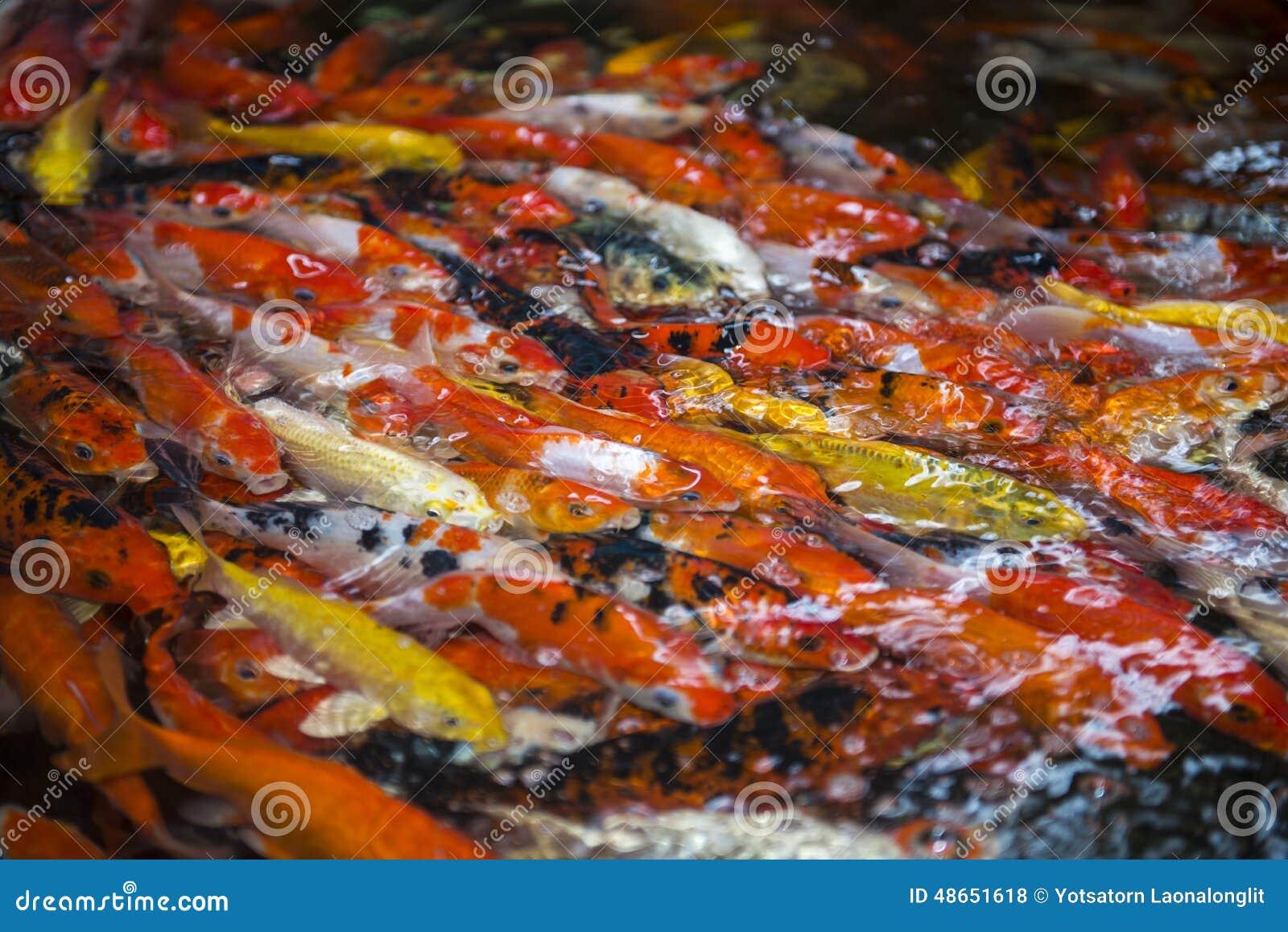 Japanese carps royalty free stock photo cartoondealer for Koi fish dealers
