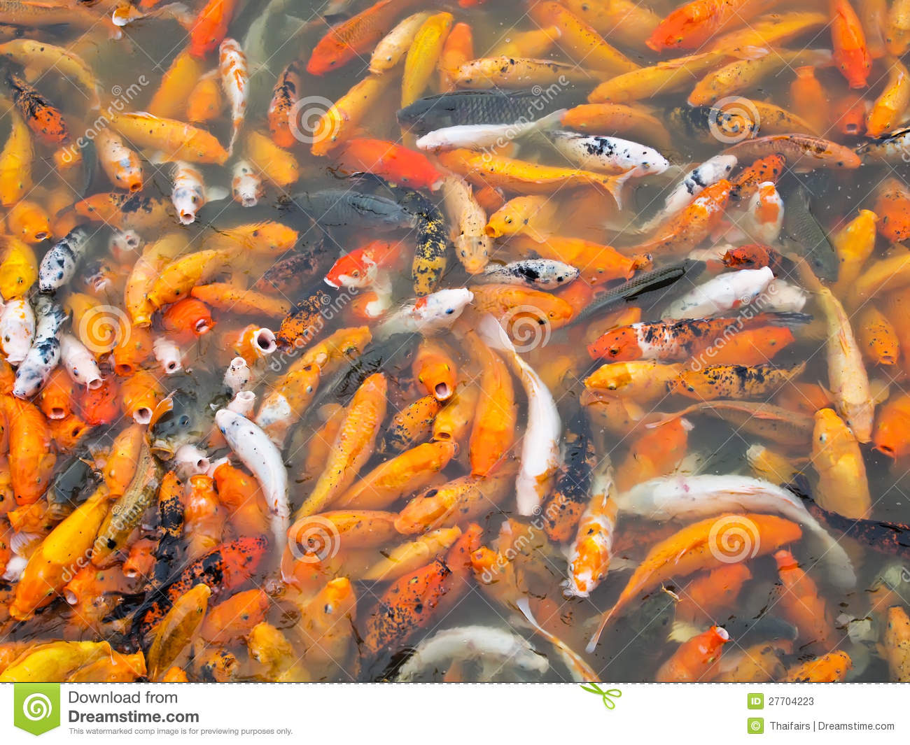 Koi carps together in a Park Pond