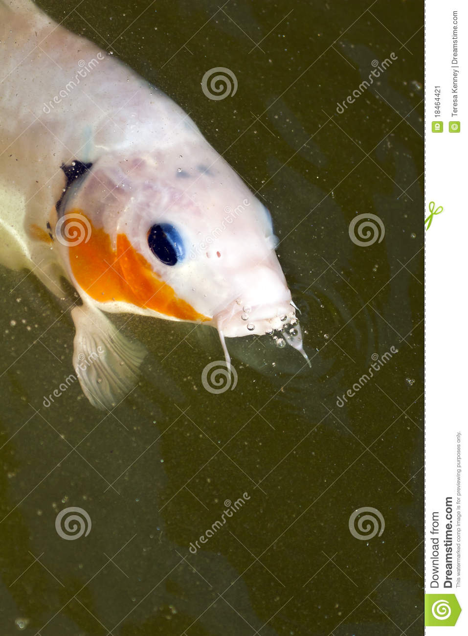 Koi closeup stock image image 18464421 for Surface fish ponds