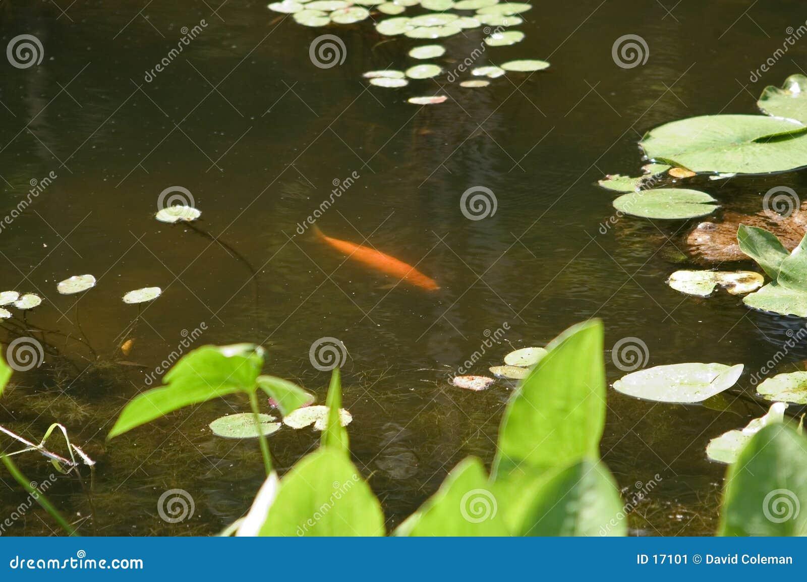 Koi dans l étang