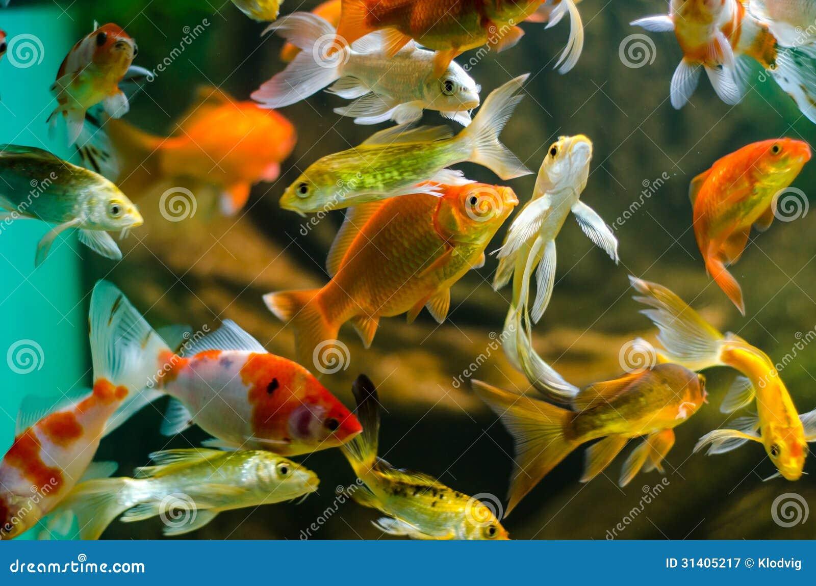 Koi e carpa no aquário