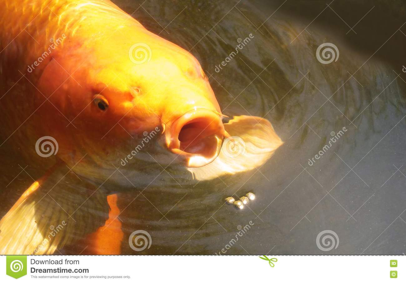 Koi eating food royalty free stock photography image for What do koi fish eat