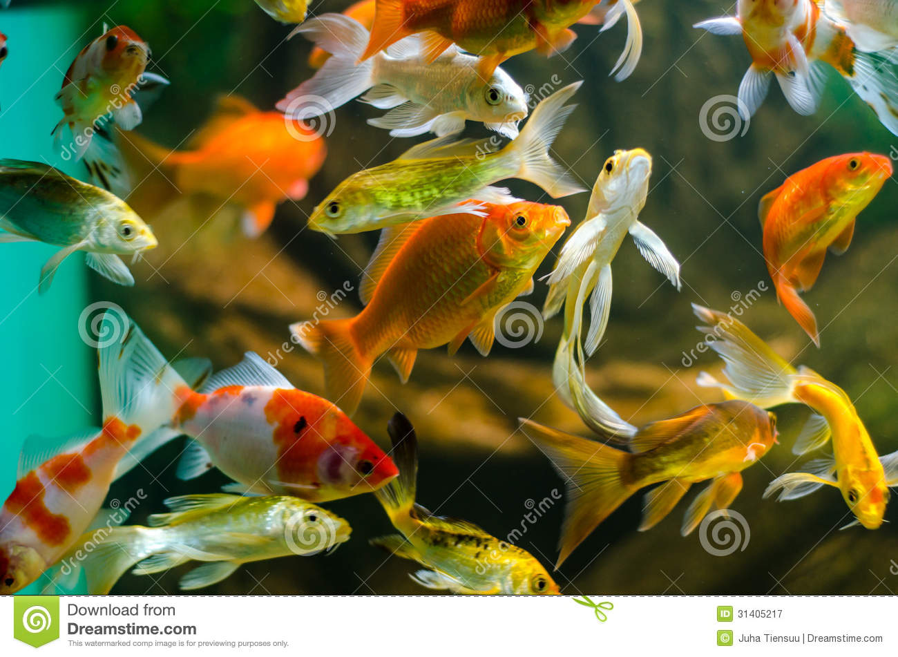 Koi et carpe dans l 39 aquarium photographie stock libre de for Poisson koi aquarium