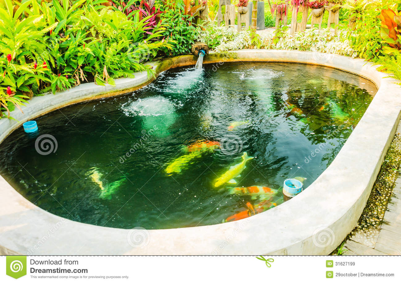Koi fancy carp cyprinus carpio haematopterus royalty free for Koi carp pool design
