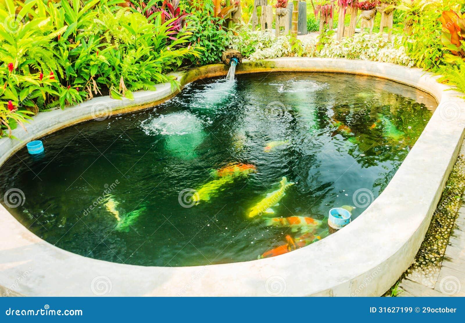 Koi fancy carp cyprinus carpio haematopterus royalty free for Koi carp pool design