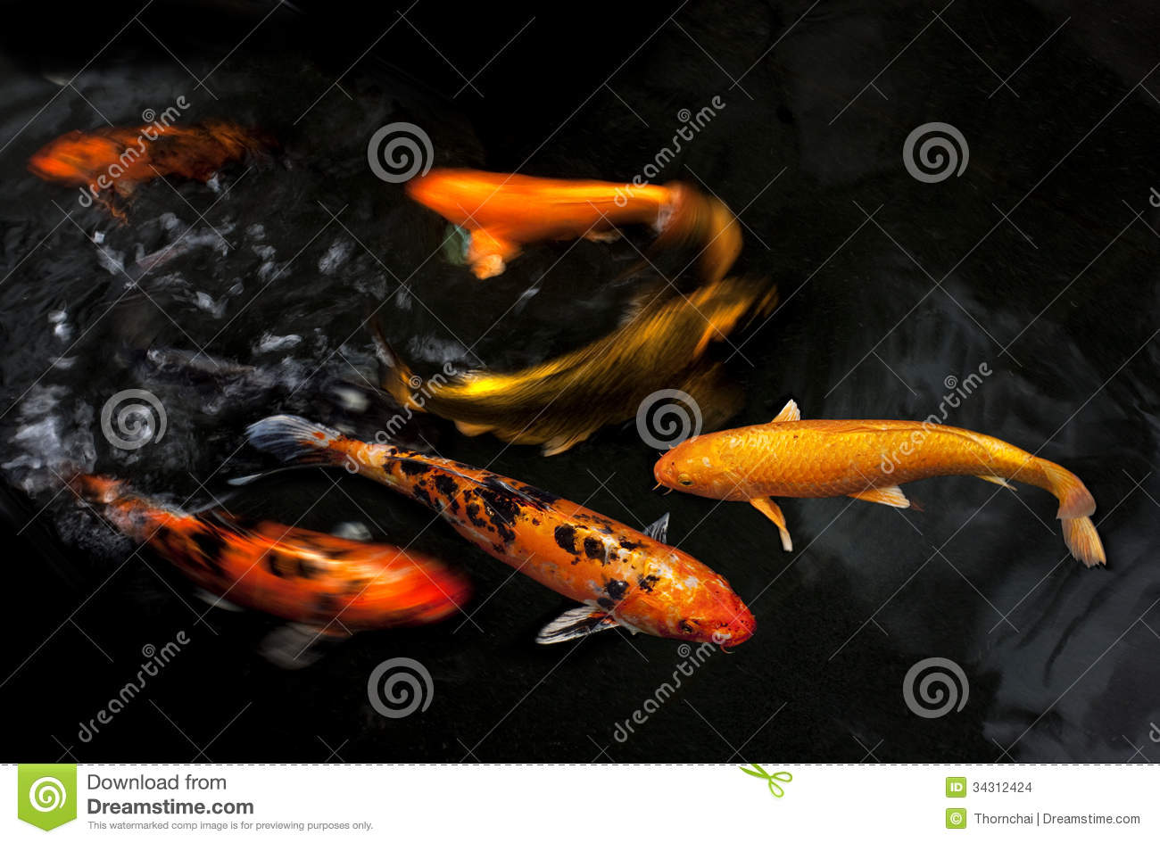 Koi fancy carp stock photo image of pool orange white for Pool koi aquatics ltd