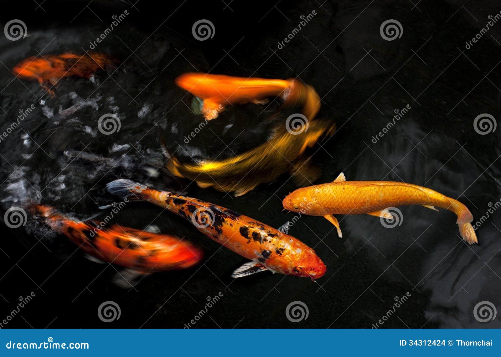Koi fancy carp stock images image 34312424 for Fancy koi fish