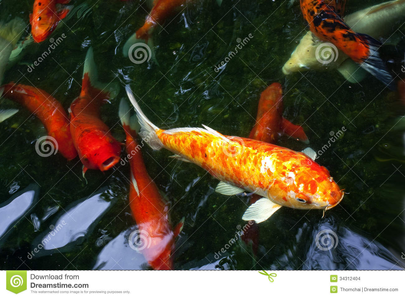 Koi fancy carp stock photo image of orange pool white for All black koi fish