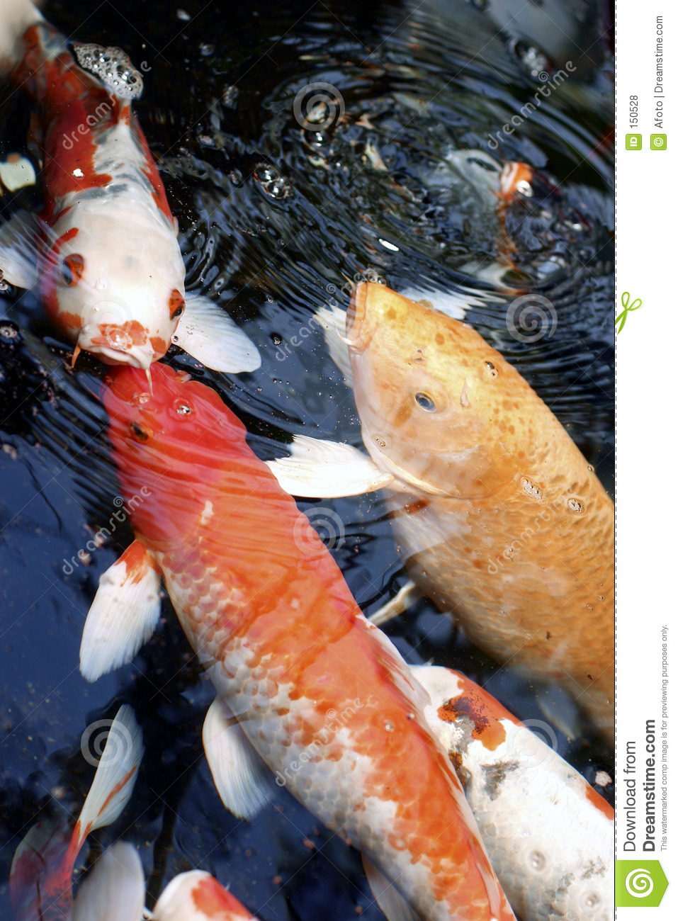 Koi feeding royalty free stock photos image 150528 for Koi feeding