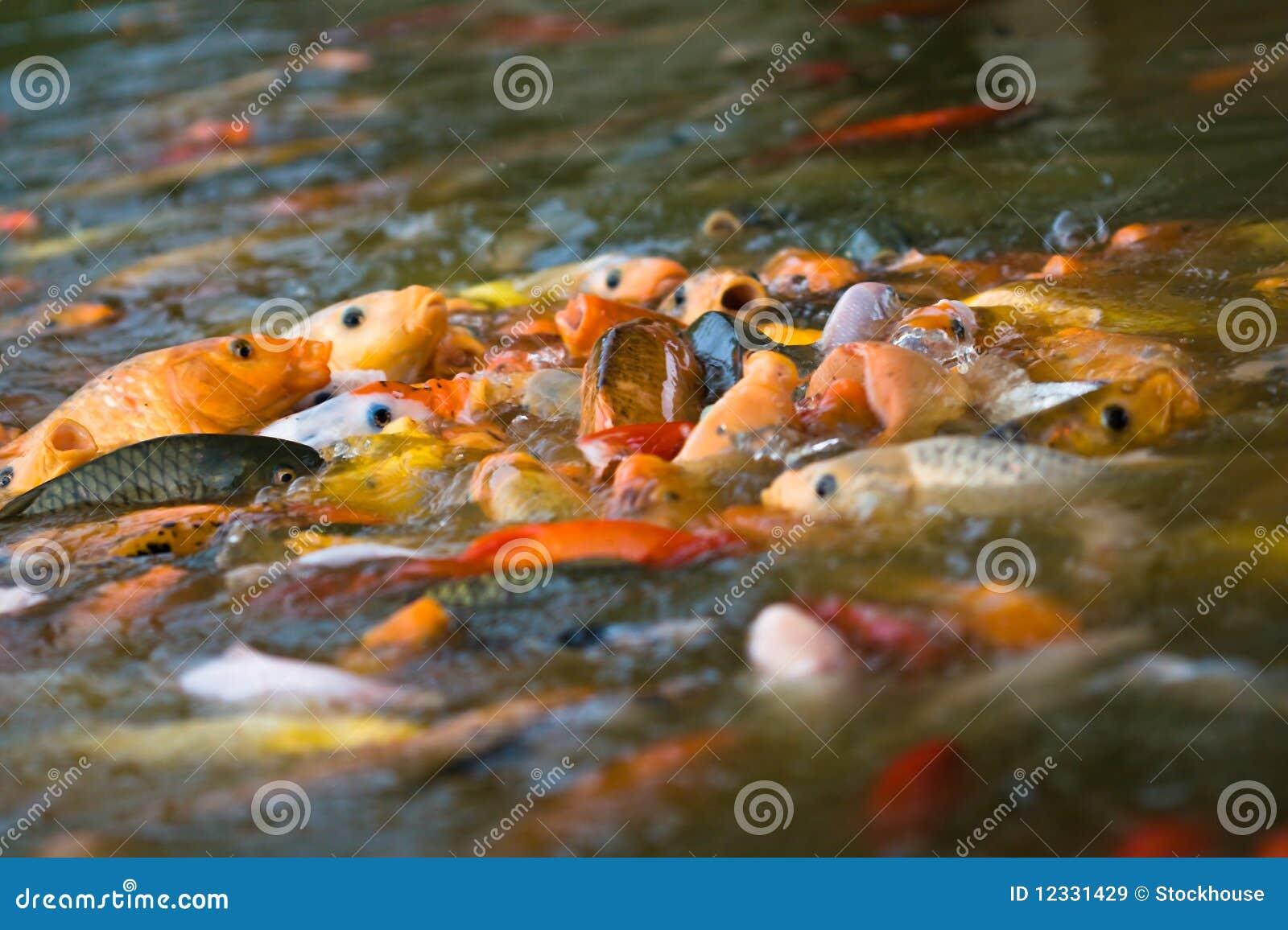 Koi feeding frenzy 1 royalty free stock images image for Feeding koi fish