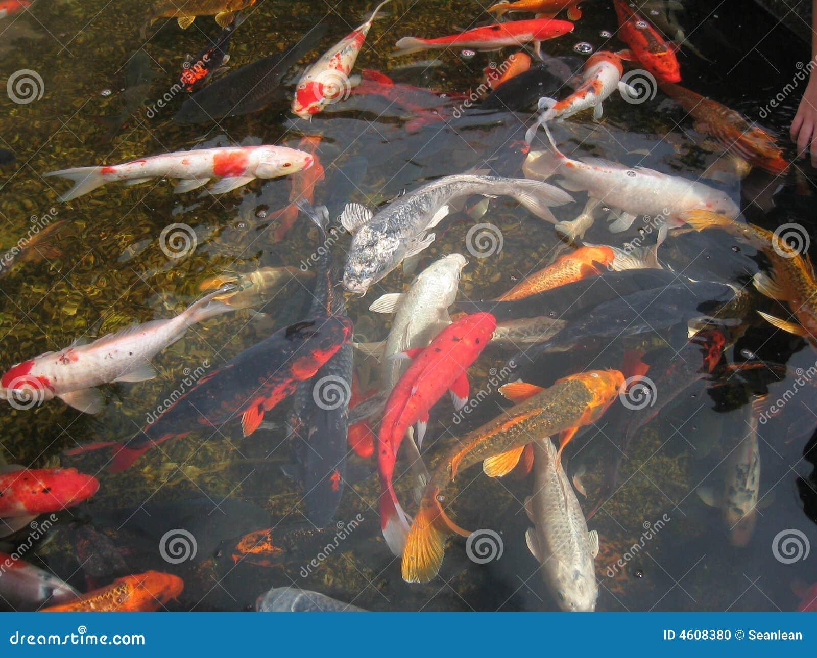 Koi fische im teich stockfoto bild von asiatisch for Koi teich zugefroren