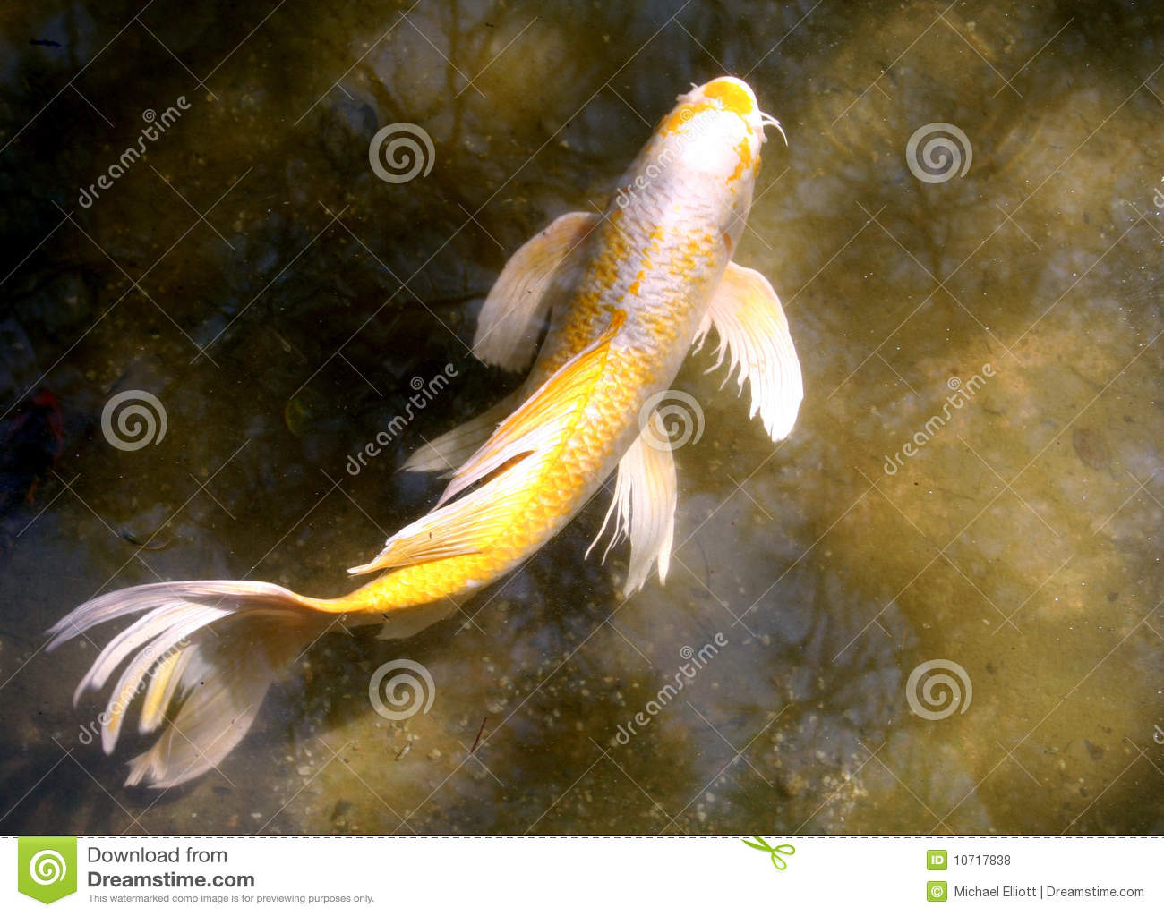 Koi fish royalty free stock photos image 10717838 for Koi fish tail
