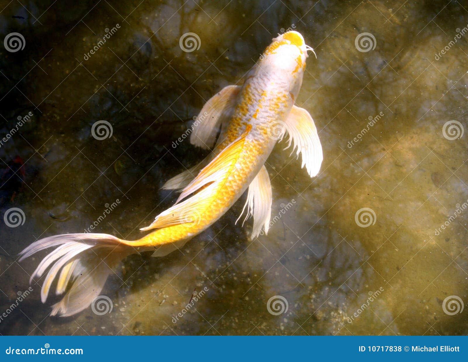 Koi fish royalty free stock photos image 10717838 for Koi fish tail