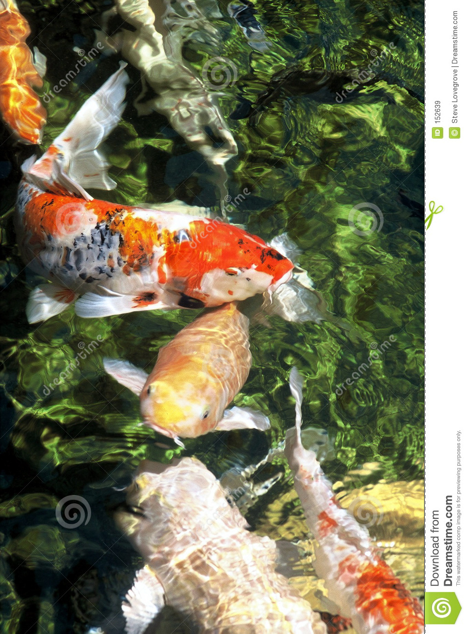 Download Koi Fish stock image. Image of asia, colorful, colour, ornamental - 152639