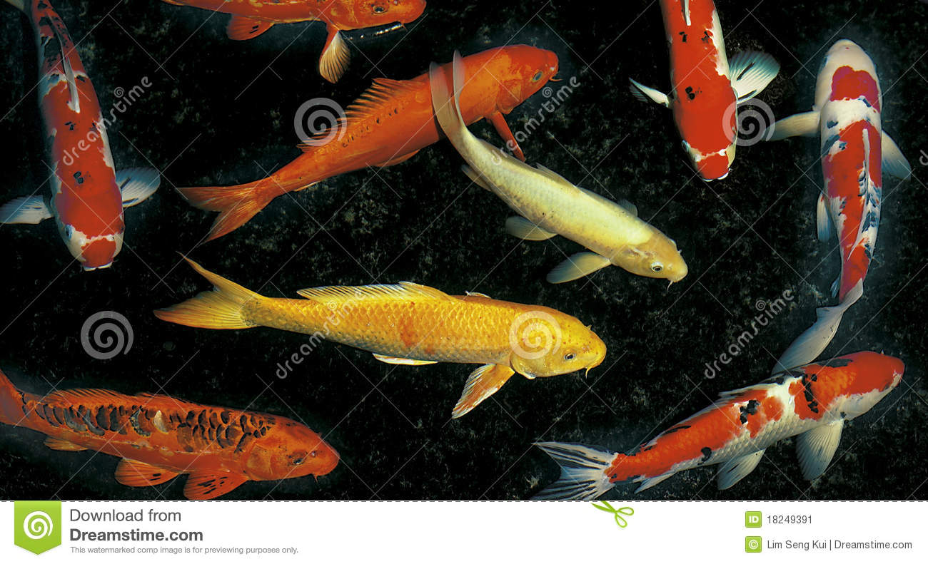 Koi fish information all about these beautiful fishes for Koi fish information