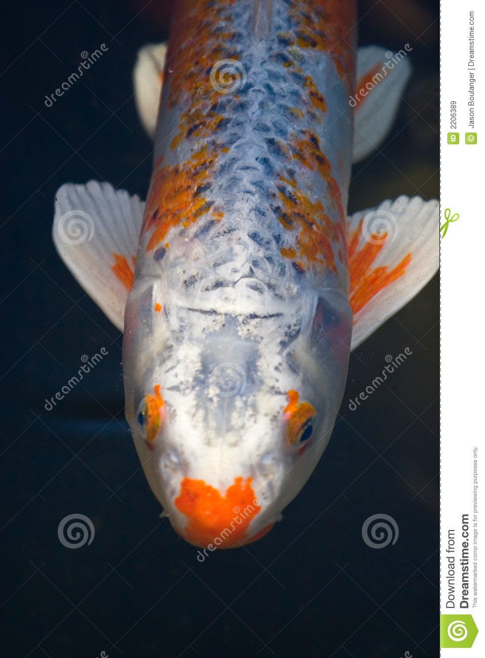 Koi fish stock image image of oriental white fish for Koi fish value