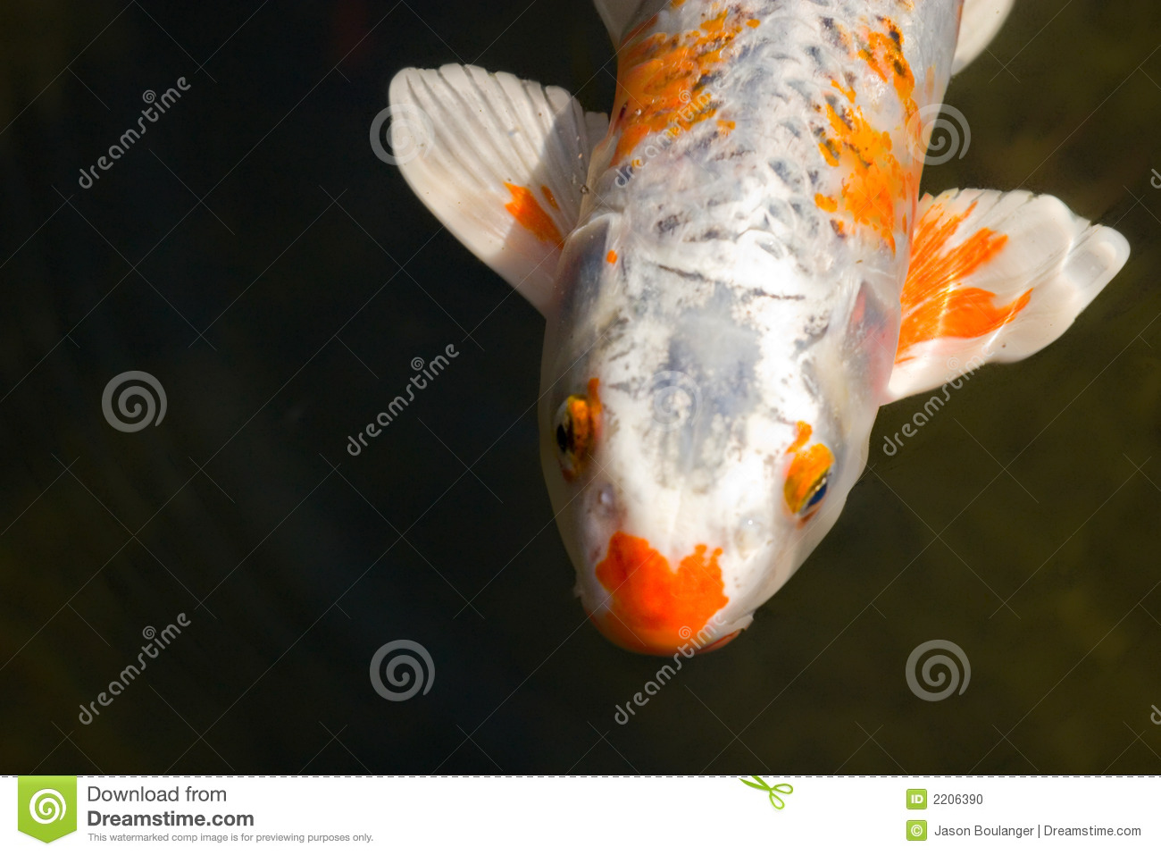 Koi fish stock photo image 2206390 for Koi ponds near me