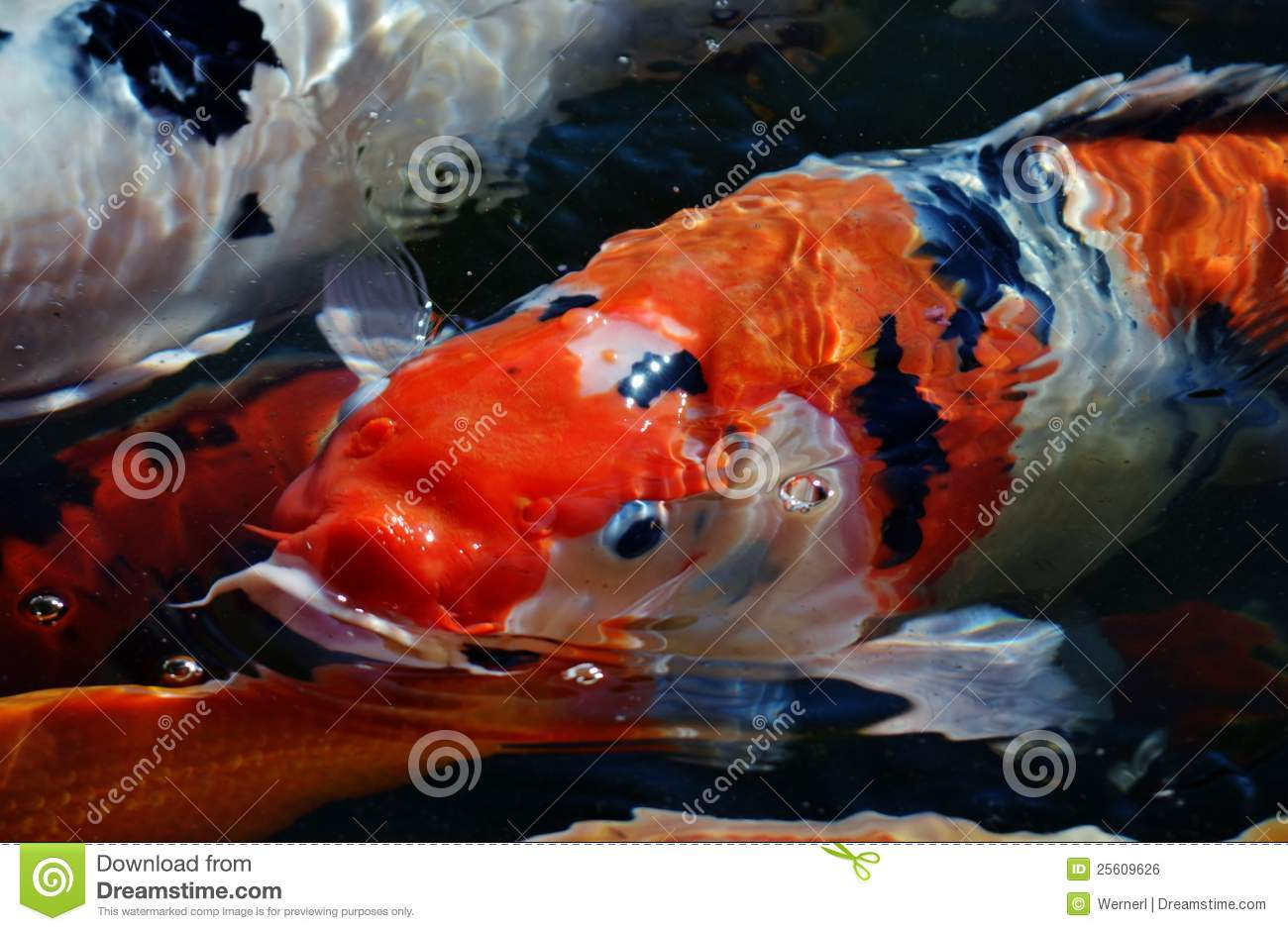 Koi fish royalty free stock image image 25609626 for Colorful pond fish