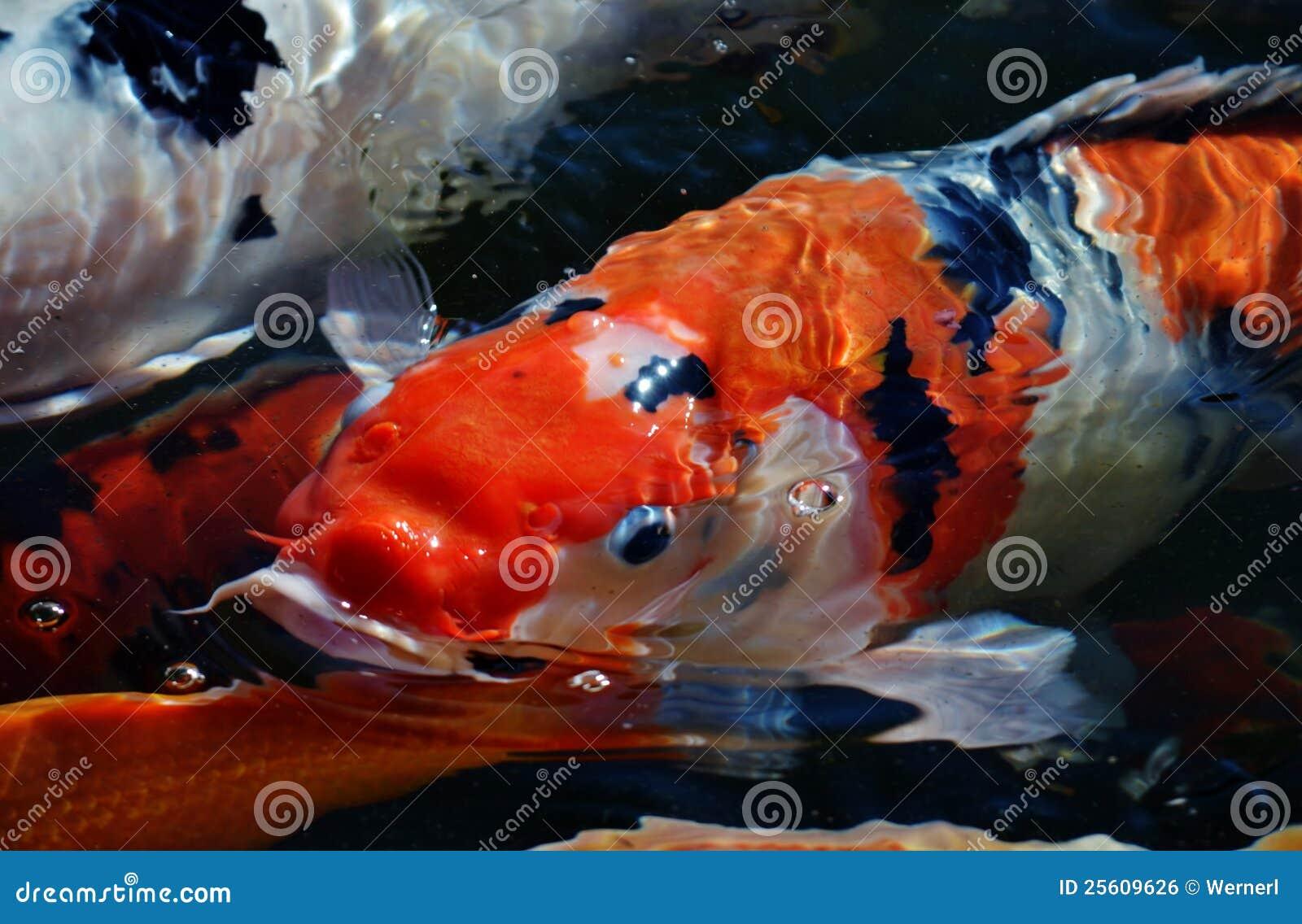 Koi fish royalty free stock image image 25609626 for Colorful pond fish