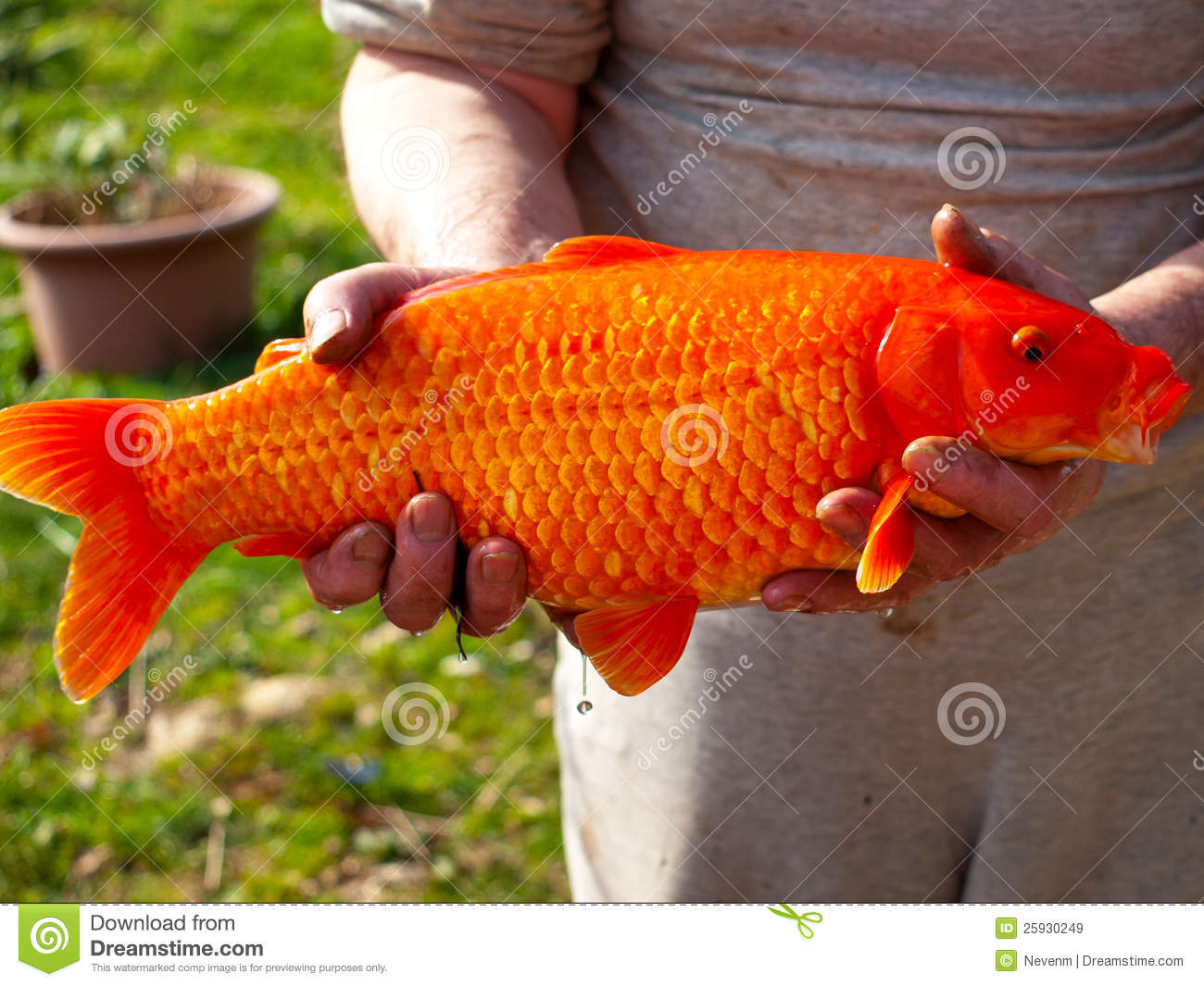 Red Koi Fish Stock Photos - Download 3,966 Images