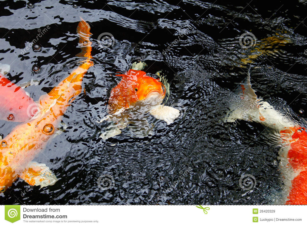 Koi fish royalty free stock images image 26420329 for Koi fish water