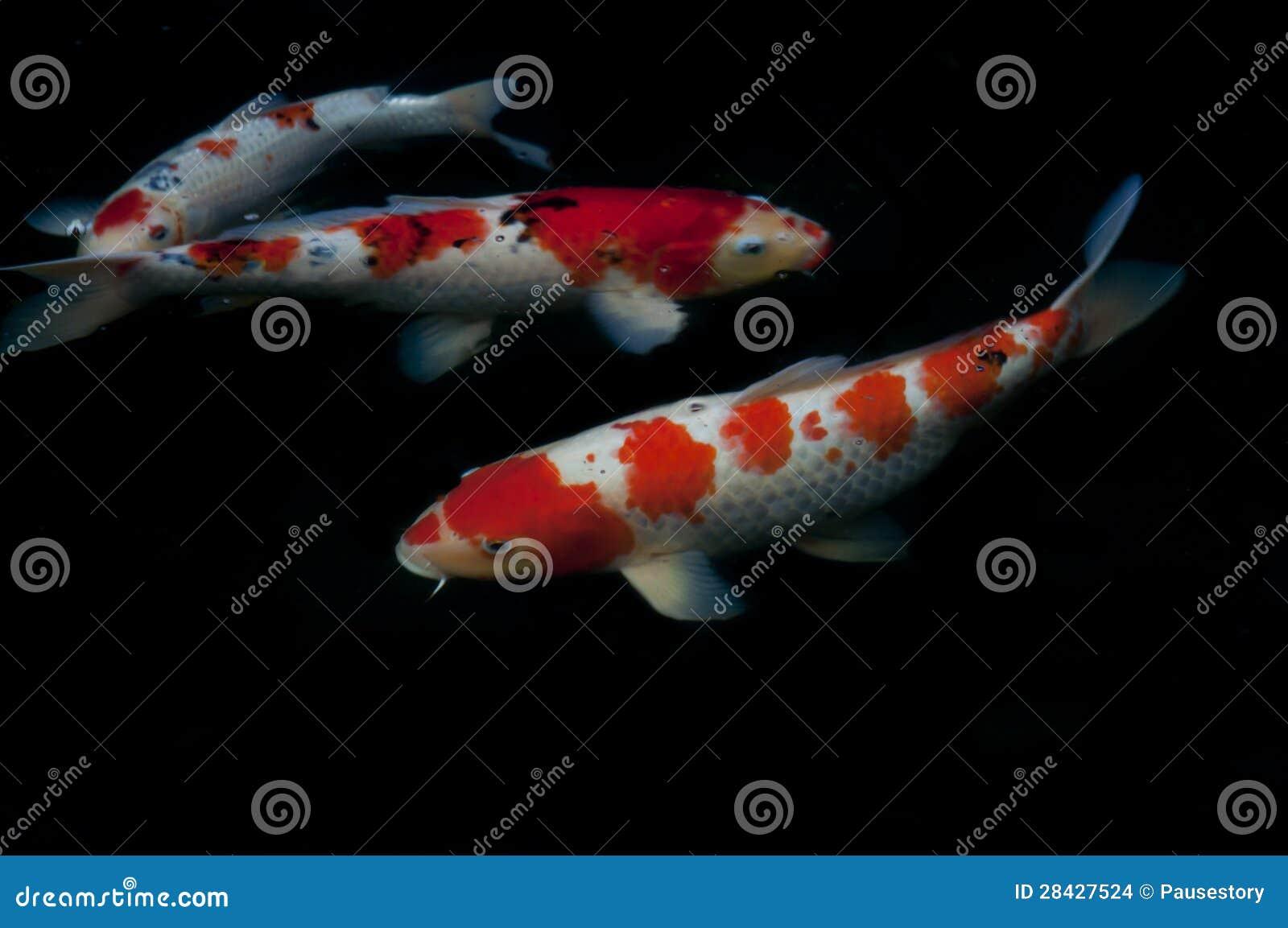 Koi fish royalty free stock image for Koi fish dealers