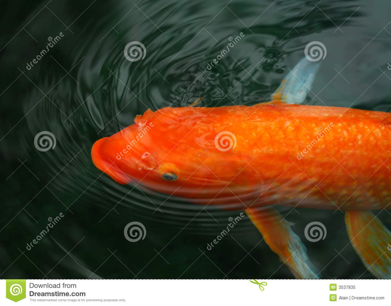 Koi fish stock image image of pets fish leaf lake for Koi fish value