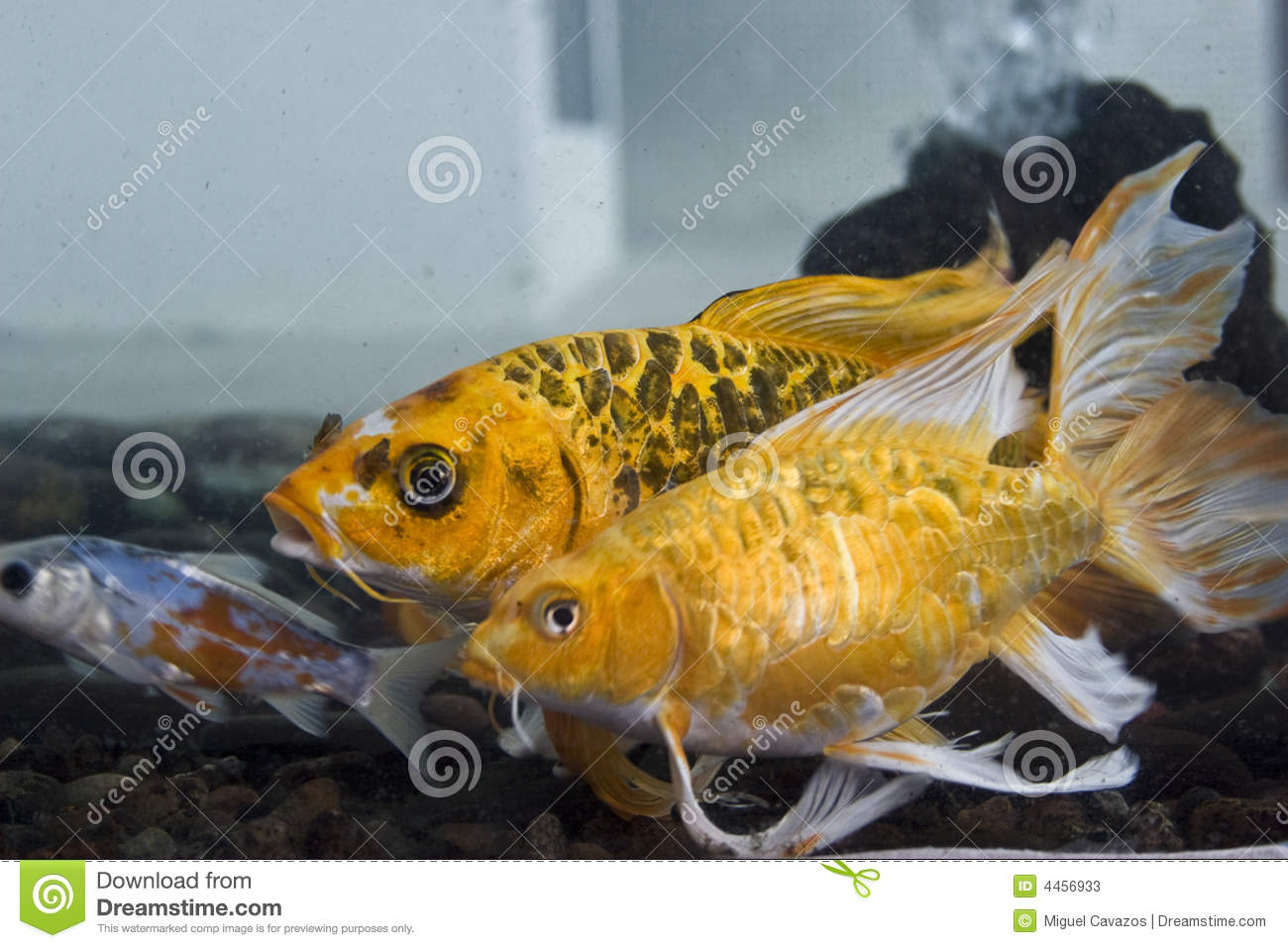 Koi fish stock photos image 4456933 for Coy fish tank