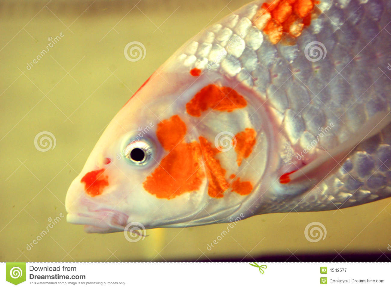 A koi fish royalty free stock photography image 4542577 for Koi fish scales