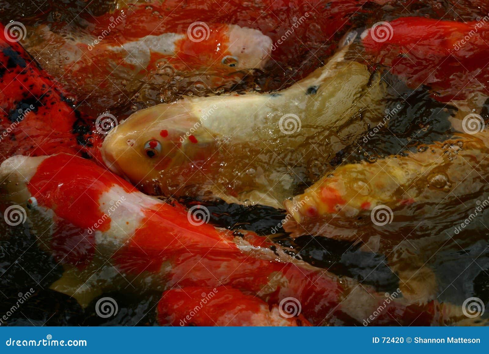 Koi fish stock photo image 72420 for Feeding koi carp
