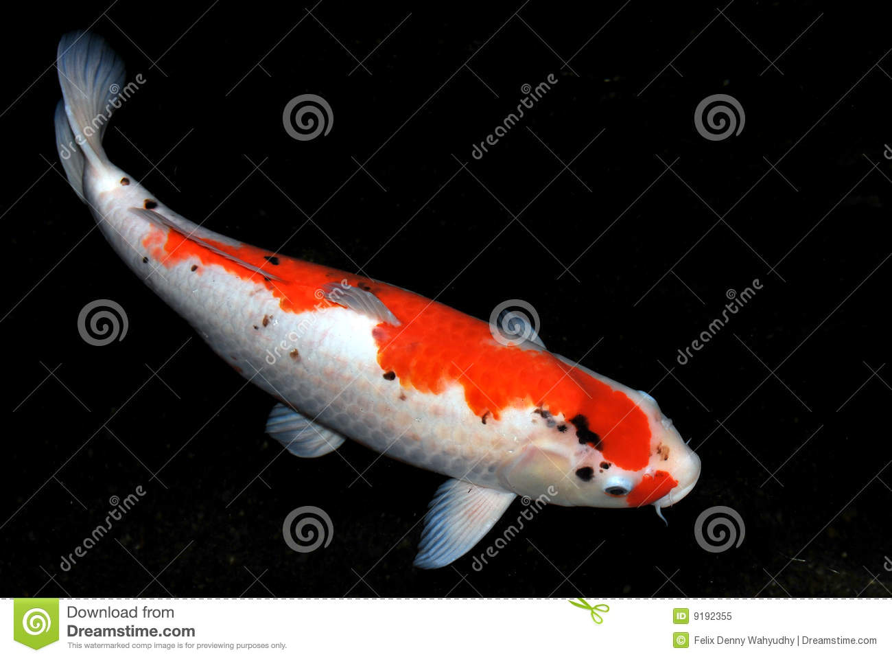 Koi fish stock image image of pond white carpio carp for Pictures of coy fish