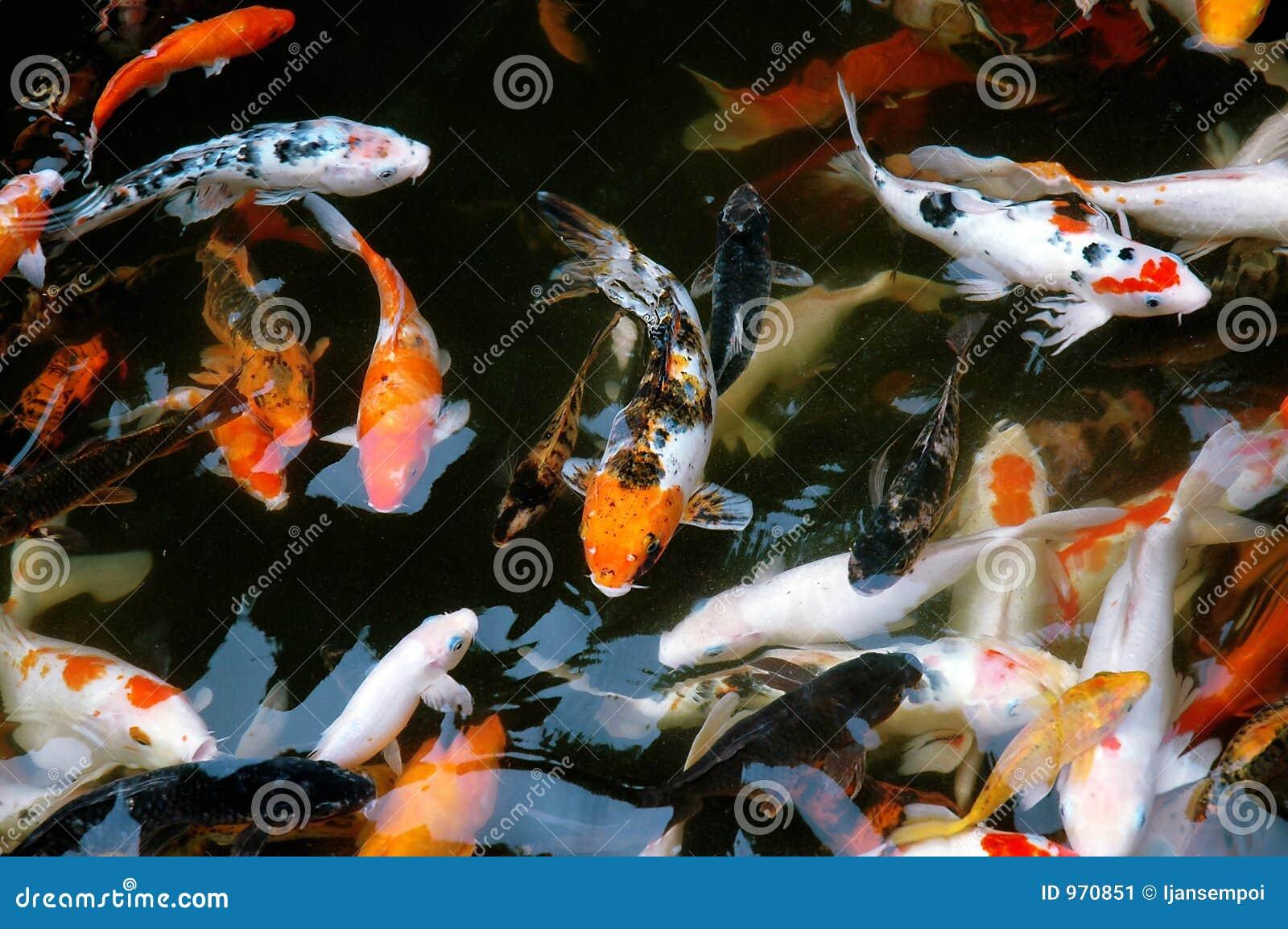 Koi fish stock image image of asian feed peaceful for Fraie carpe koi