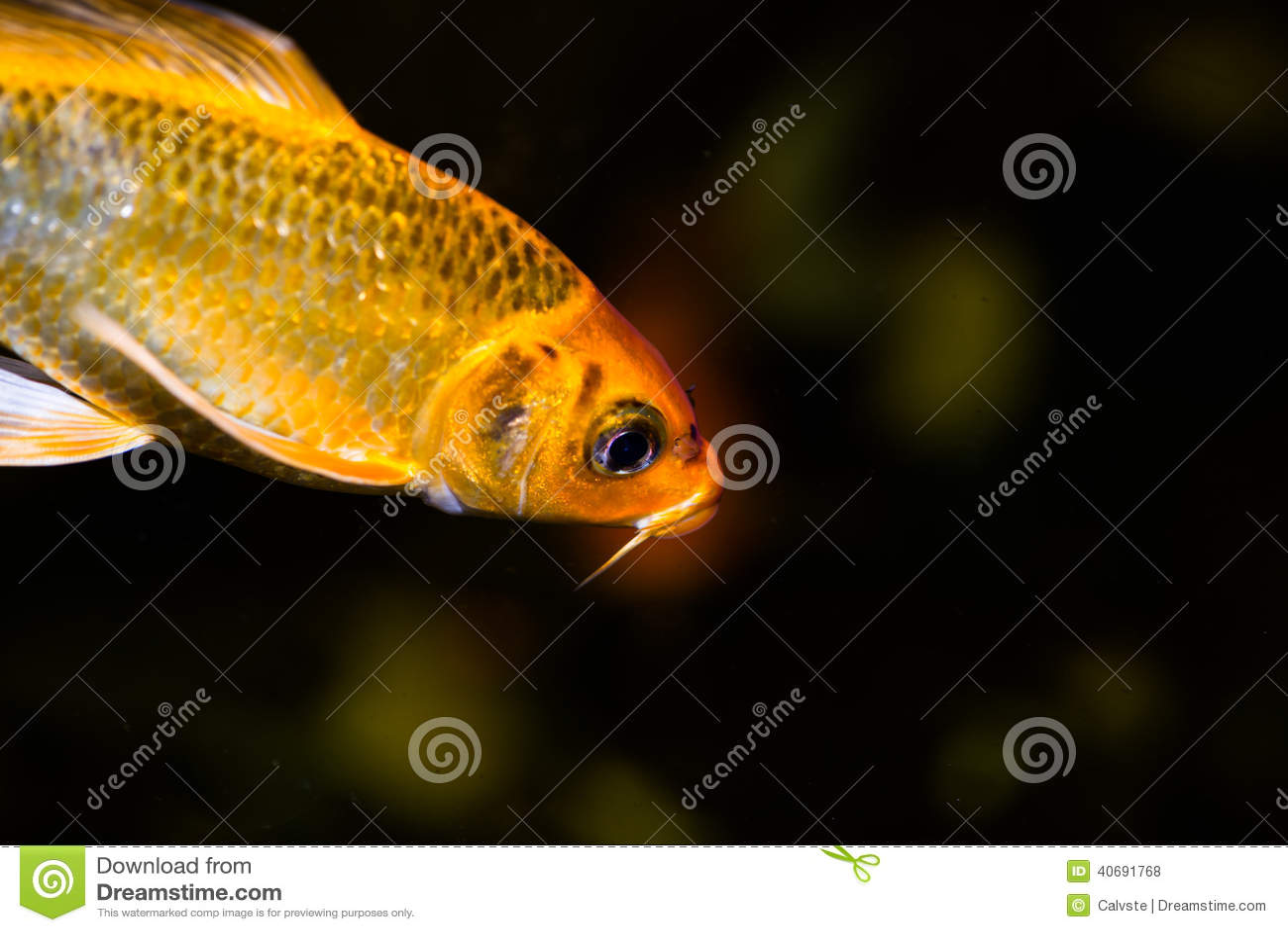 Koi fish in an aquarium stock photo image 40691768 for Koi carp aquarium