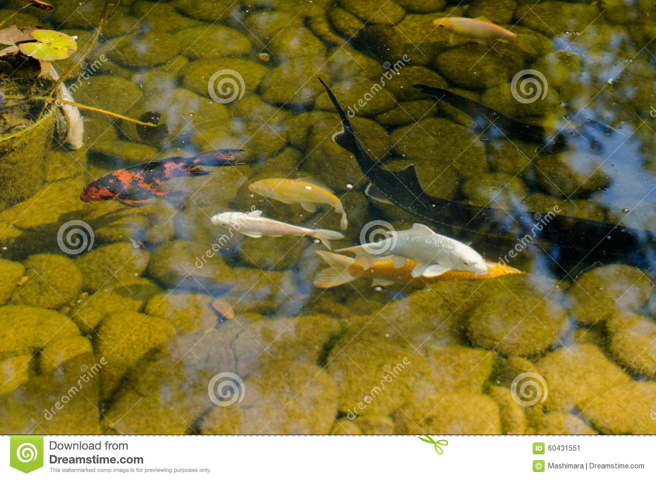 Koi fish stock photo image 60431551 for Artificial fish pond
