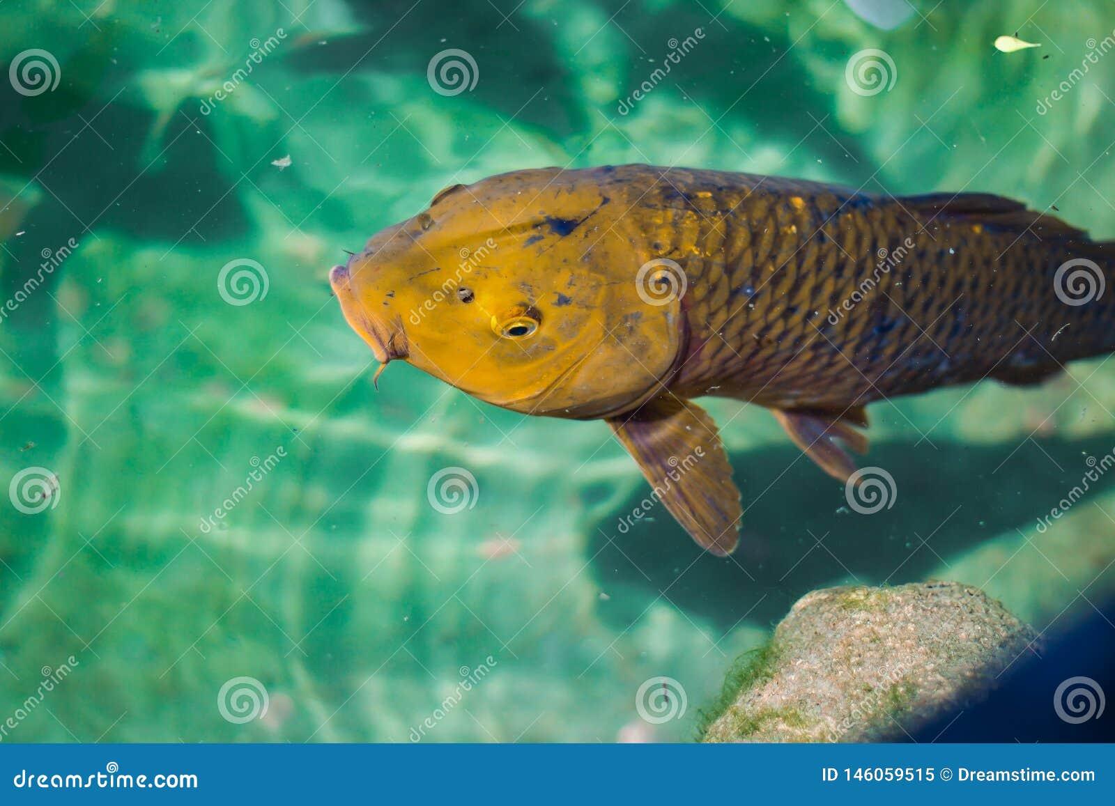 Koi Fish azul profundo