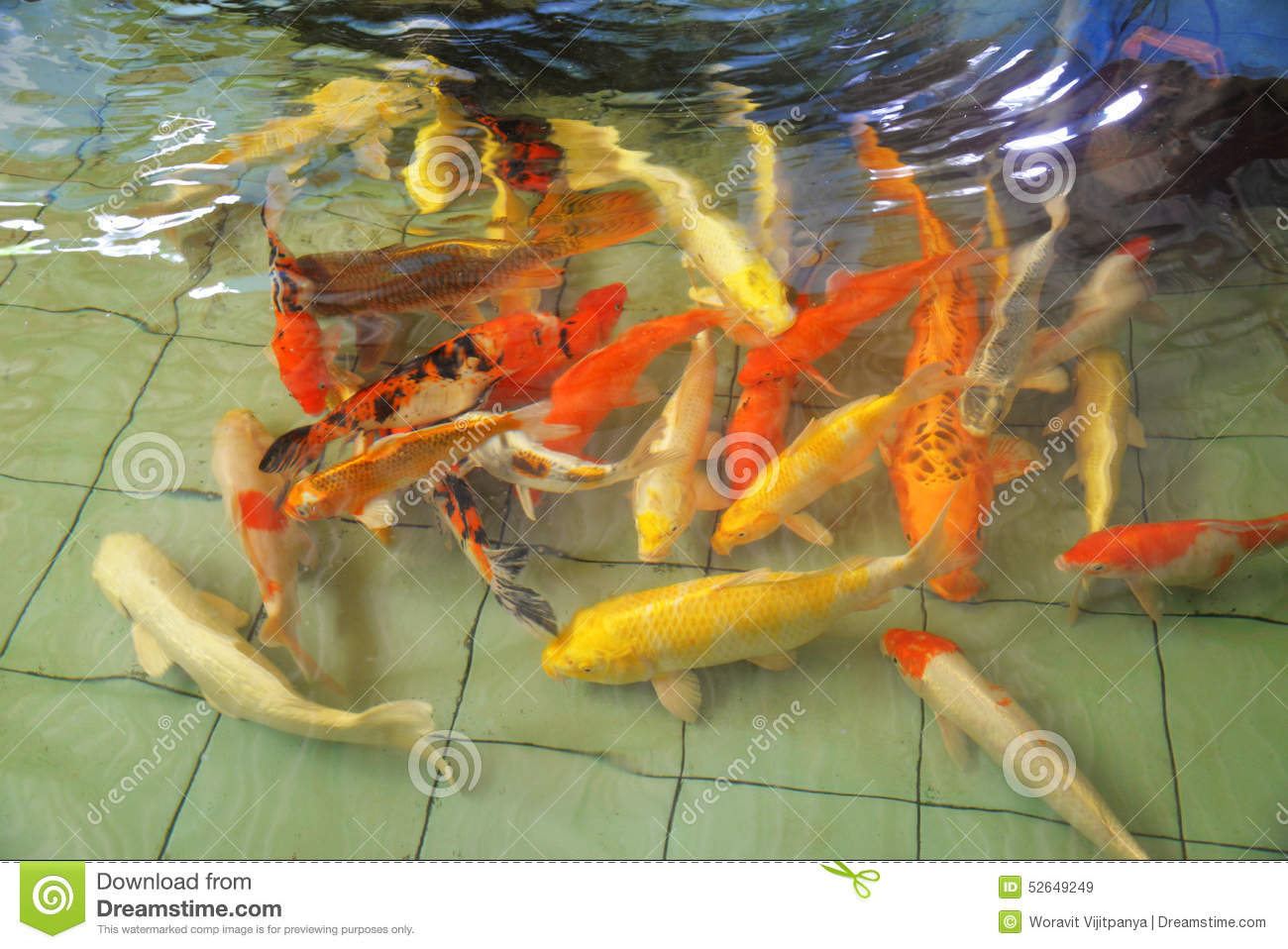 Koi fish stock photo image 52649249 for Pool koi aquatics ltd