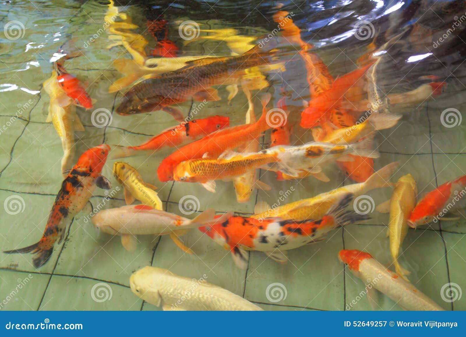 Koi fish stock photo image 52649257 for Beautiful koi fish