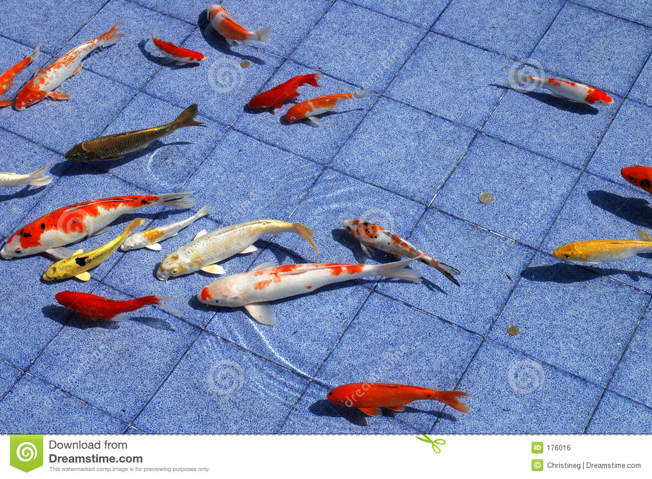 Koi fish in a blue pool royalty free stock image image for Koi swimming pool