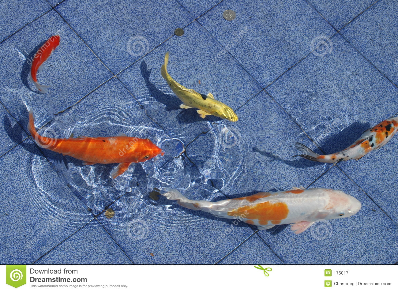 Koi fish in a blue pool royalty free stock photography for Koi carp pool design
