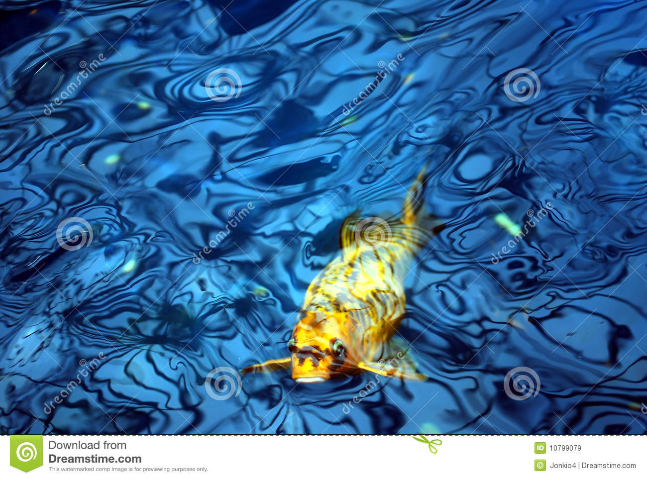 Koi fish in blue water royalty free stock images image for Koi fish water