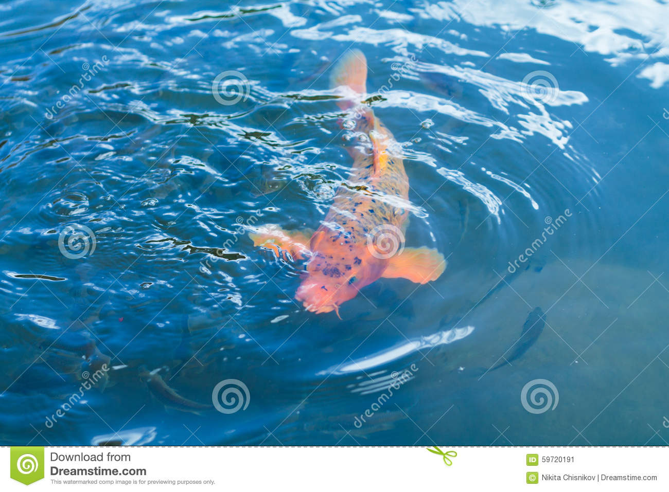 Koi fish stock photo image 59720191 for Koi fish in water