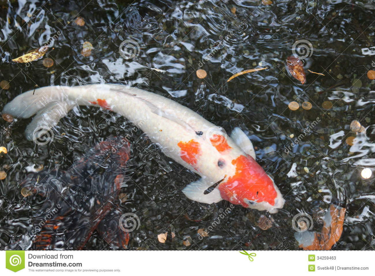 Koi fish stock photos image 34259463 for Carp pond design
