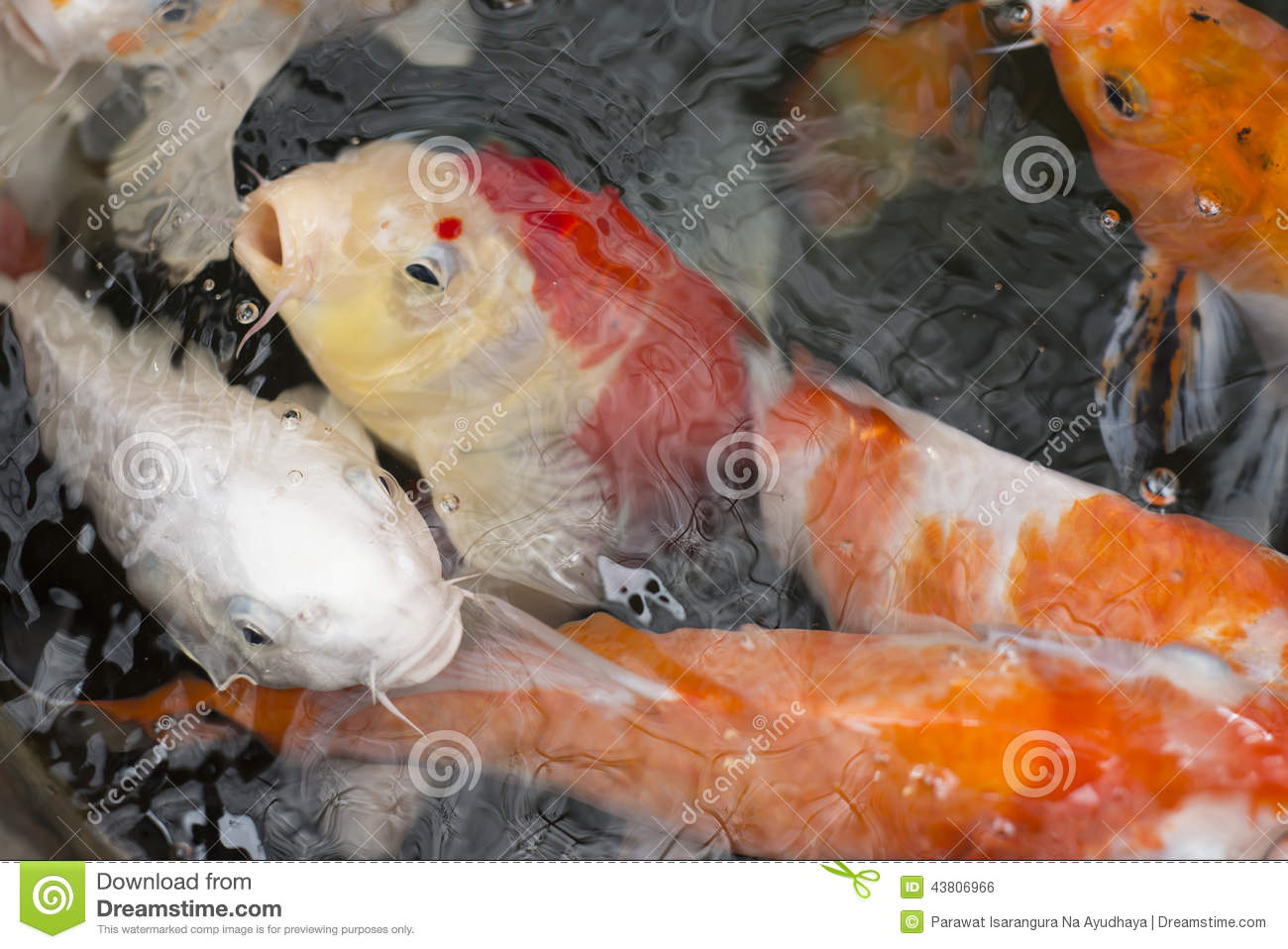 Koi fish stock photo image 43806966 for Carp pond design