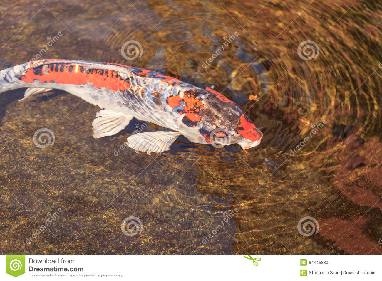 Koi fish cyprinus carpio haematopterus stock photo for Cyprinus carpio koi