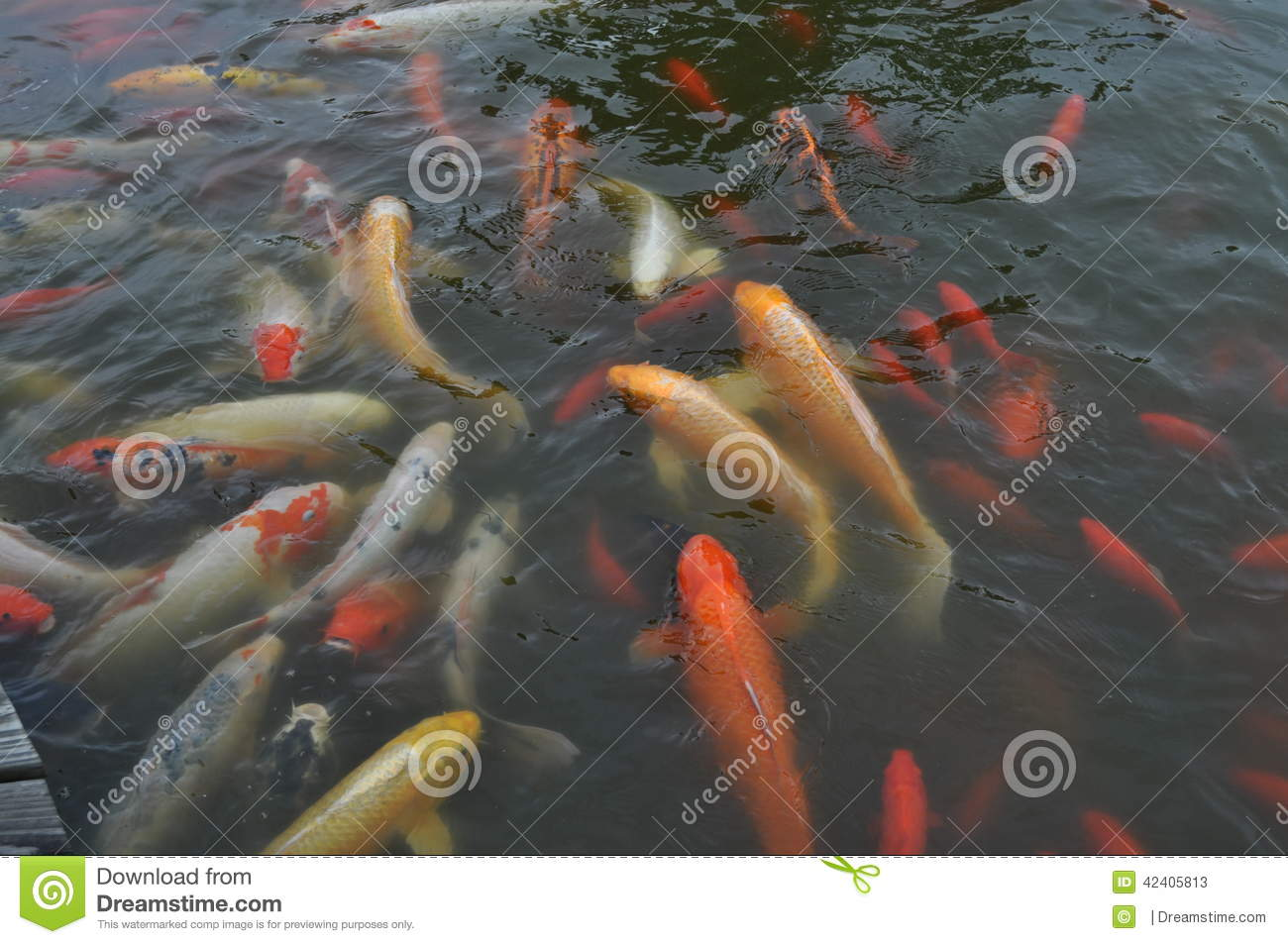 Koi fish feeding time stock image image of water multi for Koi pond price